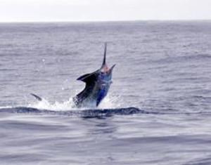 Marlin-Fishing-at-the-South